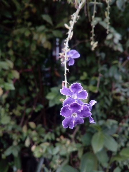 Pigeon Berry Golden Dewdrop Duranta Flower Flower Head Purple Close-up Plant Flowering Plant In Bloom