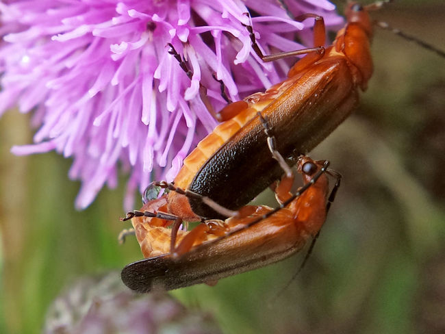 Rhagonycha Fulva copulation - Serchio River Animal Antenna Arthropod Arthropoda Beauty In Nature Close-up Coleoptera Copulating Copulation Hexapoda Insect Insecta Nature Outdoors Rhagonycha Fulva Maximum Closeness
