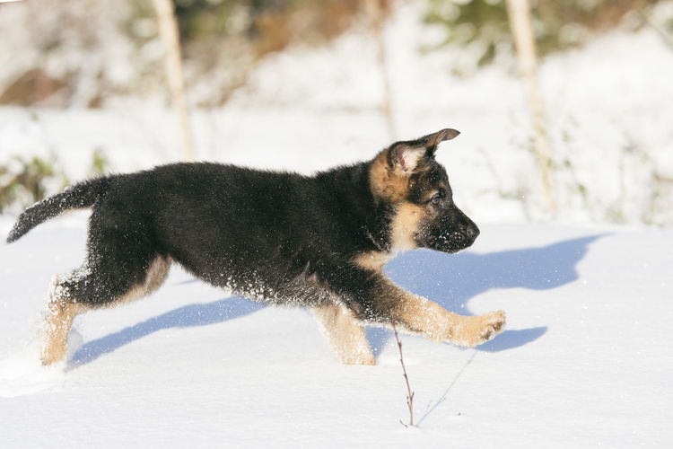 Animal Themes Cold Temperature Day Dog Domestic Animals German Shepherd Mammal Nature No People One Animal Outdoors Pets Puppy Snow Winter