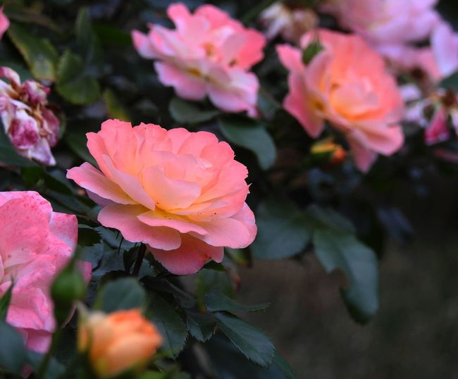 miniature roses Apricot Rose Colorful Roses Floral Perfection Floral Photography Flower Collection Flowers, Nature And Beauty Flowers,Plants & Garden Flowers_collection Garden Flowers Garden Photography Peach Rose Perfect Roses Pink Rose Roses Roses Are Pink Roses_collection