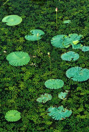 Lotus Lotus Flower Lotus Leaf 伊豆沼