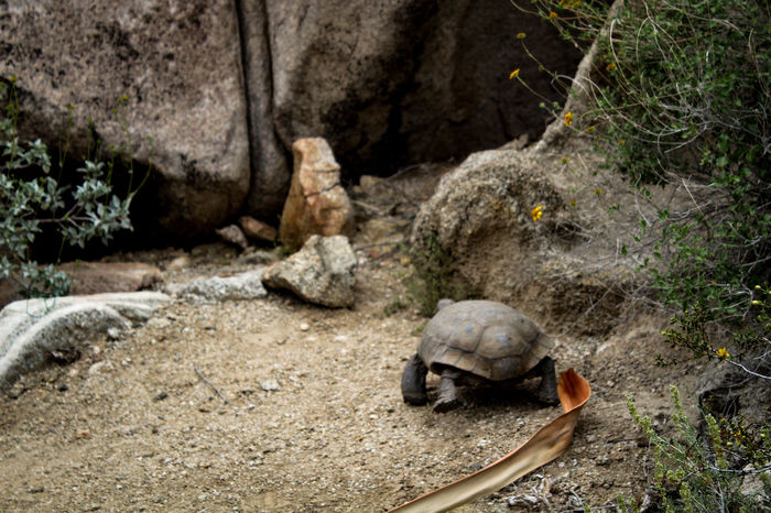 Found this little guy at one of the Joshua Tree Oases, such a lucky find! Animals In The Wild Joshua Tree National Park Reptile Wildlife Photography Backpacker Photography Desert Tortoise Oasis Reptile Running Away Tortoise Tortoise Shell