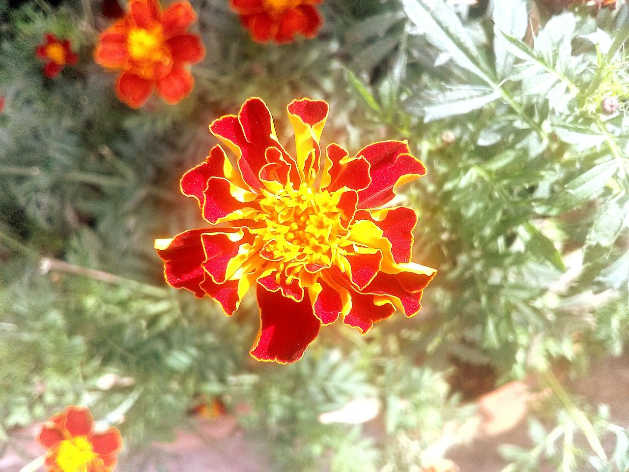 flower, nature, beauty in nature, petal, freshness, growth, outdoors, plant, focus on foreground, no people, day, flower head, fragility, blooming, close-up