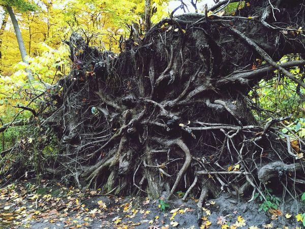 Fallen Tree so rooty...