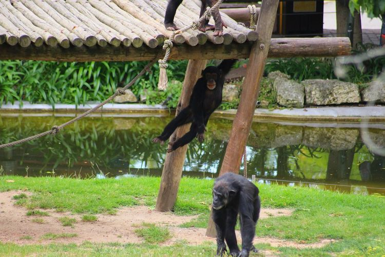 Chimpanzees playing in zoo