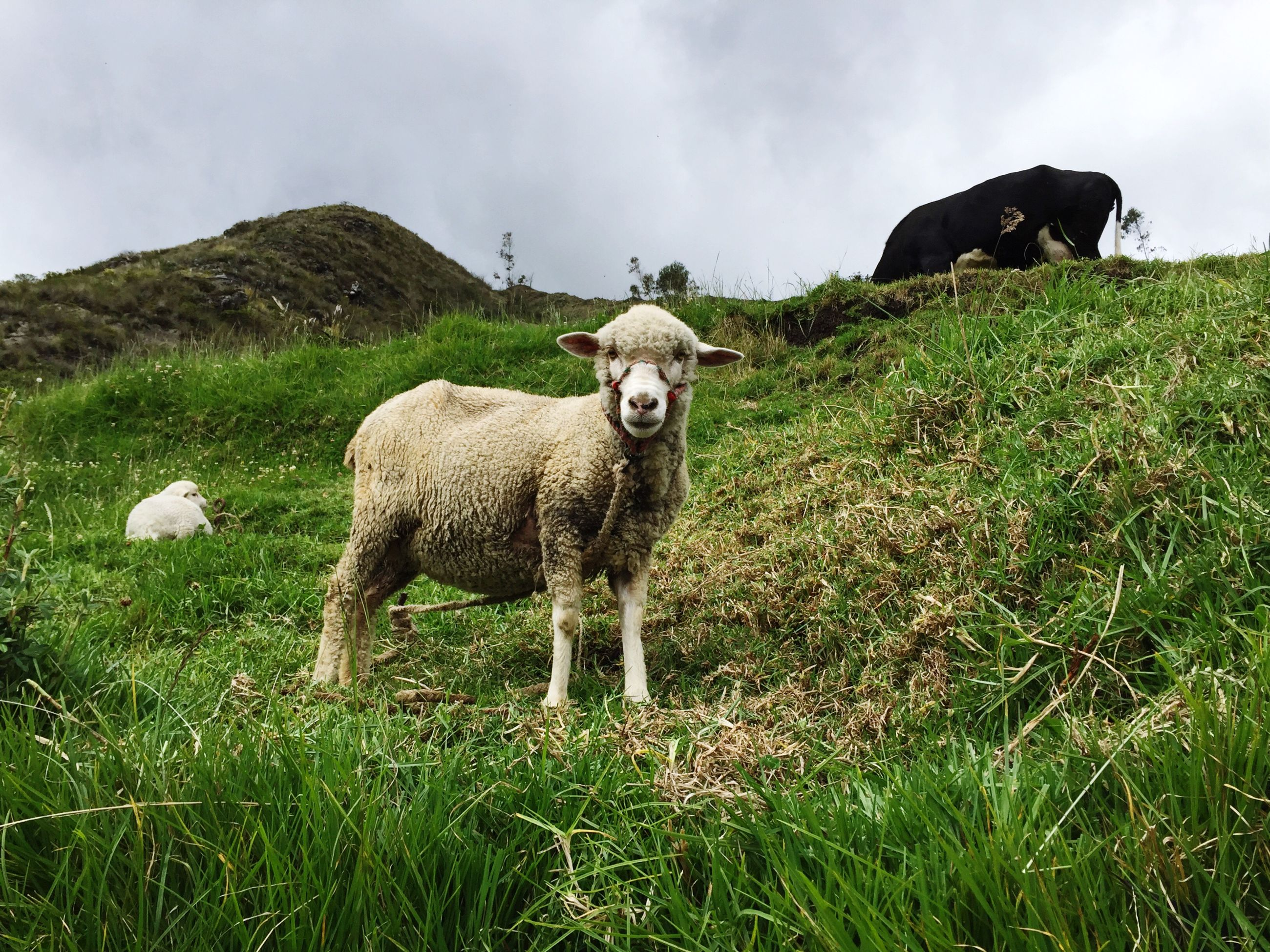 grass, animal themes, mammal, field, grassy, domestic animals, sky, one animal, landscape, nature, sheep, standing, livestock, green color, day, no people, plant, outdoors, cloud - sky, full length