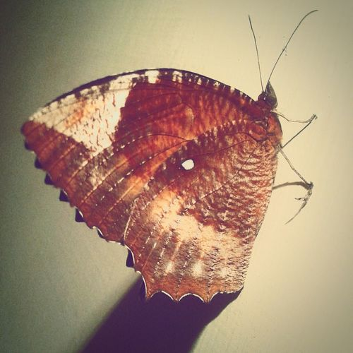 Butterfly - Insect Close-up Beauty First Eyeem Photo