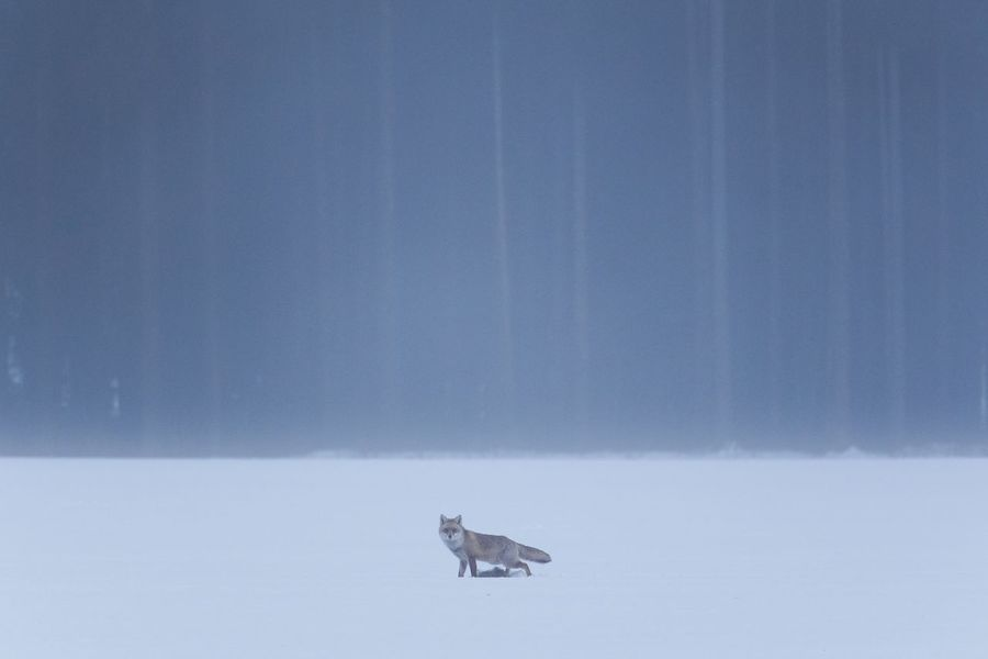 Fox Winter Snow Cold Temperature Weather Nature No People One Animal Animals In The Wild Outdoors