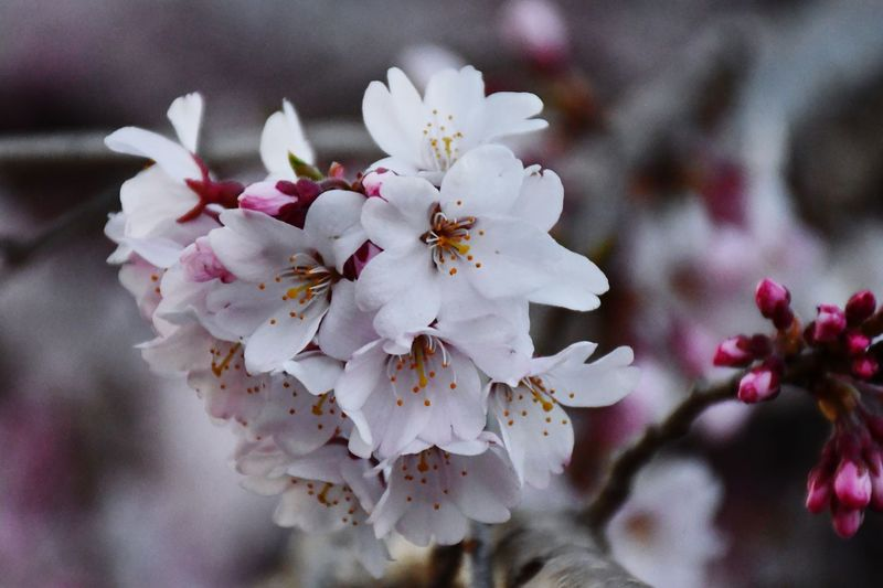 Sakura Cherry Blossom EyeEm Selects Plant Flower Flowering Plant Beauty In Nature Fragility Growth Close-up Tree Pollen Flower Head No People Blossom Freshness Springtime Decadence
