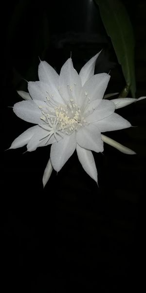 Wijayakusuma or Epiphyllum Anguliger a flower that only bloom at night emanating sweet and mystic begins to bloom at sunset and becomes completely wilted at is also known as the flower of god Vishnu. Crazy Rich Asians Midnight Lady Queen Of The Night Night Blooming Cereus Epiphyllumanguliger Plant White Flower Wijayakusuma Epiphyllum Anguliger Nocturnal Flower Night Blooming Flowers Only Booming At Night Mystic Flower Home Interior Ornamental Plant Hobby Gardening Unedited Unfiltered Huawei Nova 2i Flower Head Black Background Flower Studio Shot Close-up Pollen Petal In Bloom Single Flower