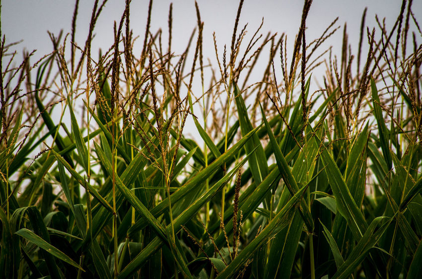 Agriculture Beauty In Nature Blade Of Grass Cereal Plant Close-up Corn Crop  Day Farm Field Focus On Foreground Grass Green Color Growth Land Landscape Nature No People Outdoors Plant Rural Scene Sky Tranquility