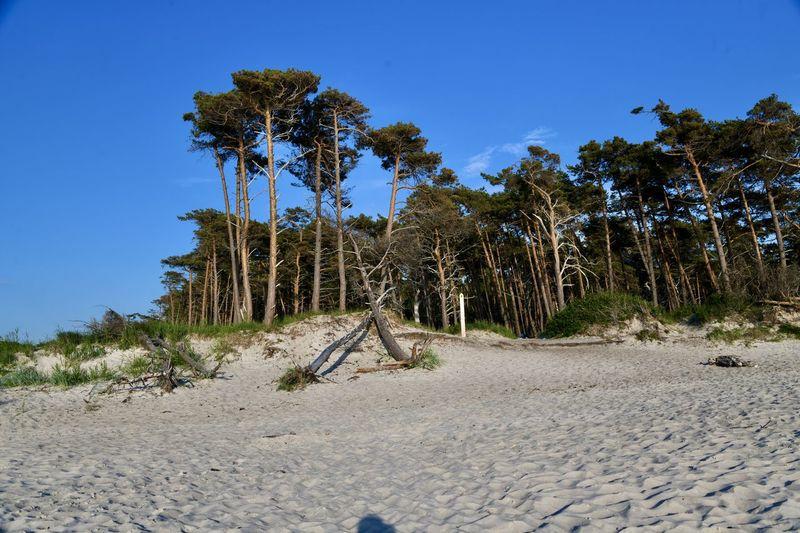 Trees on sand against clear blue sky