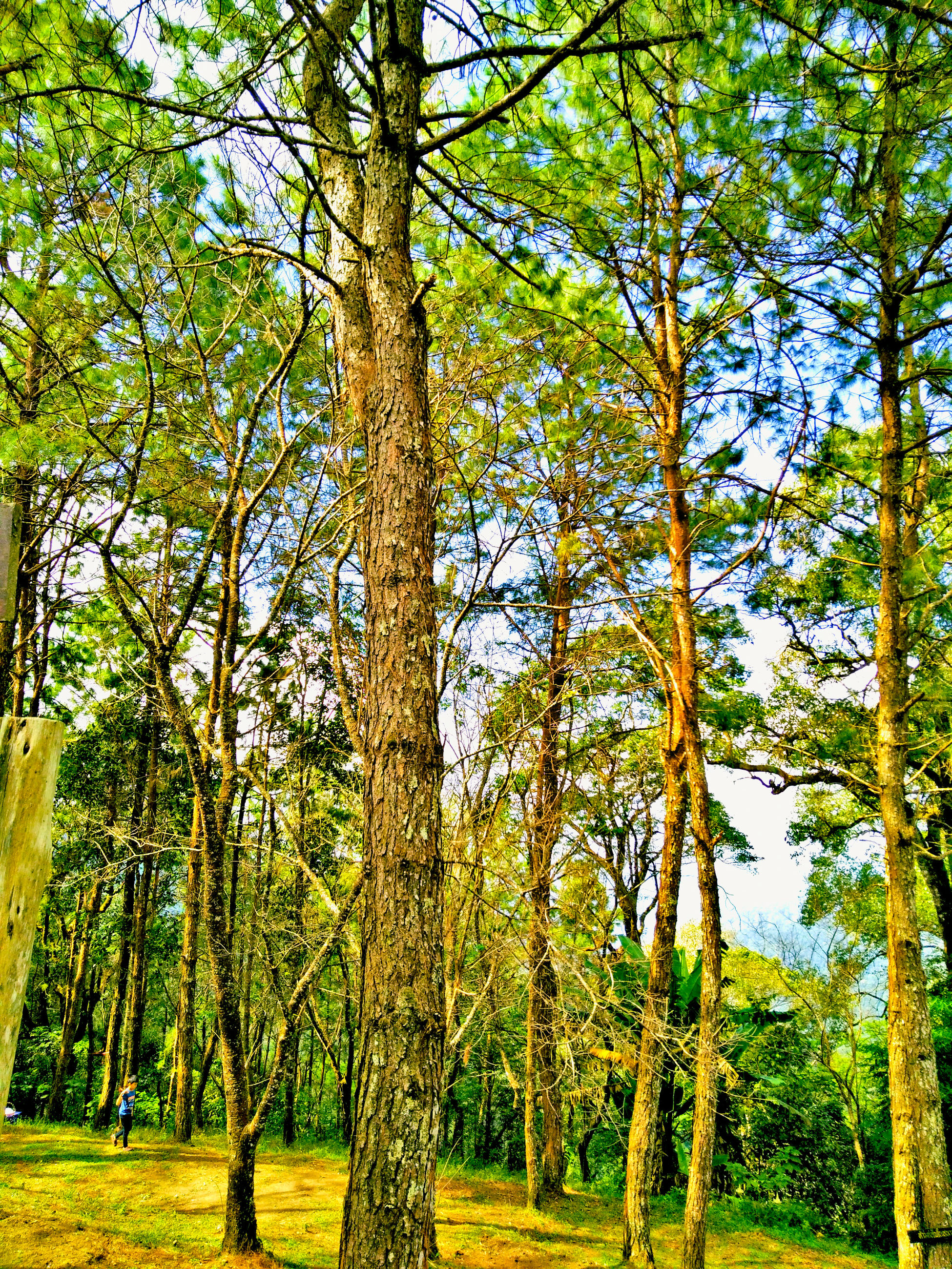 tree, nature, growth, green color, beauty in nature, no people, tranquility, outdoors, low angle view, forest, sky, day, scenics, lush - description