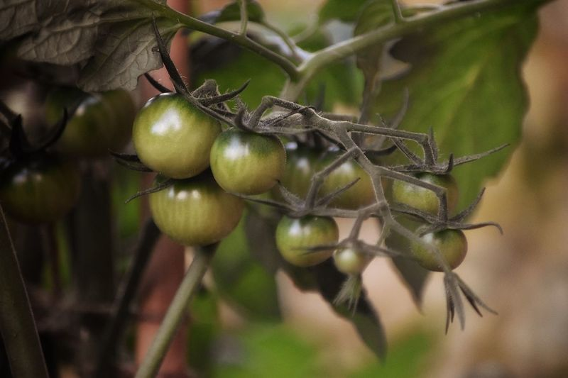 Green tomatoes Fruit Growth No People Close-up Branch Outdoors