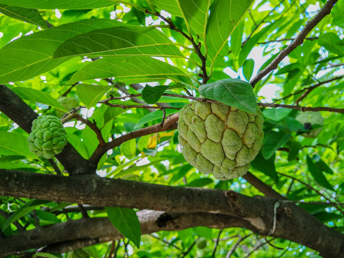 Leaf Green Color Tree Growth Nature No People Fruit Day Agriculture Food Outdoors Beauty In Nature Freshness Close-up ผลไม้ไทย Food And Drink กลิ่นอันหอมหวาน Custard Apple Wallpapers Nature Tree Backgrounds Healthy Eating