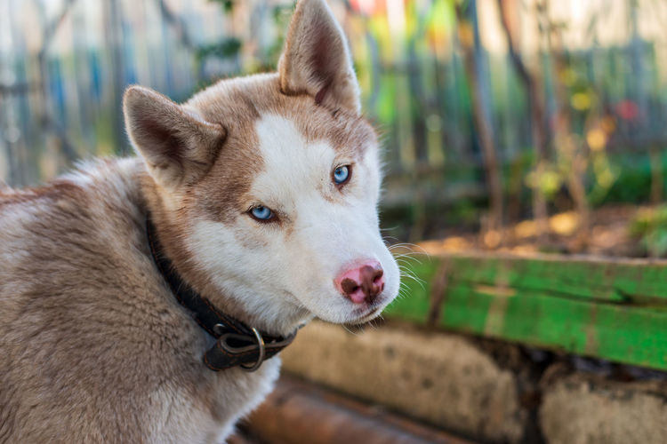 Husky My Best Photo Animal Themes Animal Mammal One Animal Canine Dog Domestic Domestic Animals Focus On Foreground Pets Close-up Portrait Day Animal Body Part Vertebrate No People Looking Animal Head  Looking At Camera Outdoors Purebred Dog Mouth Open