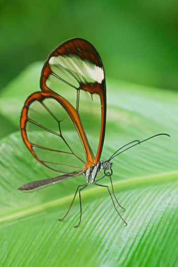 Transparent wings Animal Animal Themes Animal Wildlife Animal Wing Animals In The Wild Beauty In Nature Butterfly - Insect Close-up Day Focus On Foreground Green Color Insect Invertebrate Leaf Nature No People One Animal Outdoors Plant Plant Part Selective Focus Transparent Wings Zoology