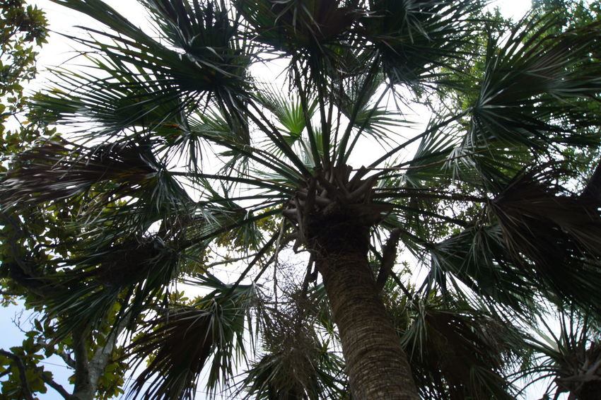Through The Eyes of a Palm Beauty In Nature Branch Close-up Day Engelwood Beach, Florida Green Color Growth Leaf Low Angle View Nature No People Outdoors Palm Tree Palm Tree Silhouette Sky Tree Tree Trunk