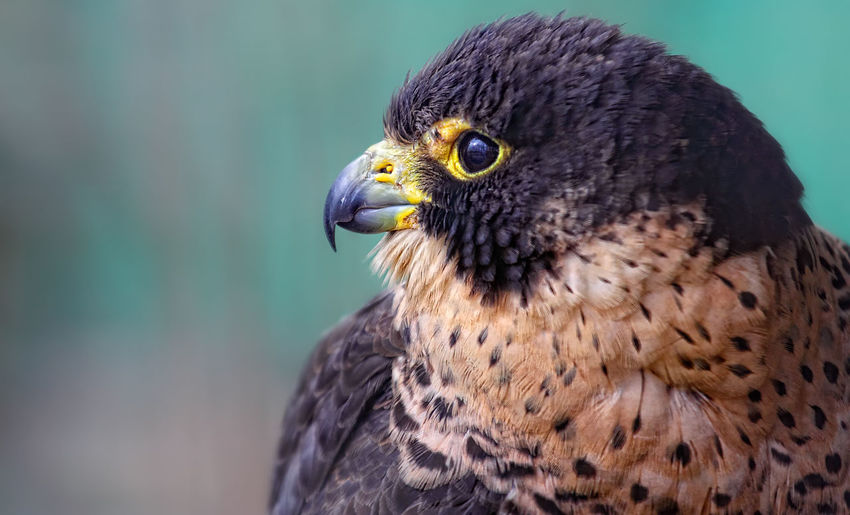 Peregrine Falcon Animal Body Part Animal Eye Animal Head  Animal Themes Animals In The Wild Beak Beauty In Nature Bird Close-up Day Falcon Focus On Foreground Looking Away Nature One Animal Outdoors Portrait Wildlife Zoology