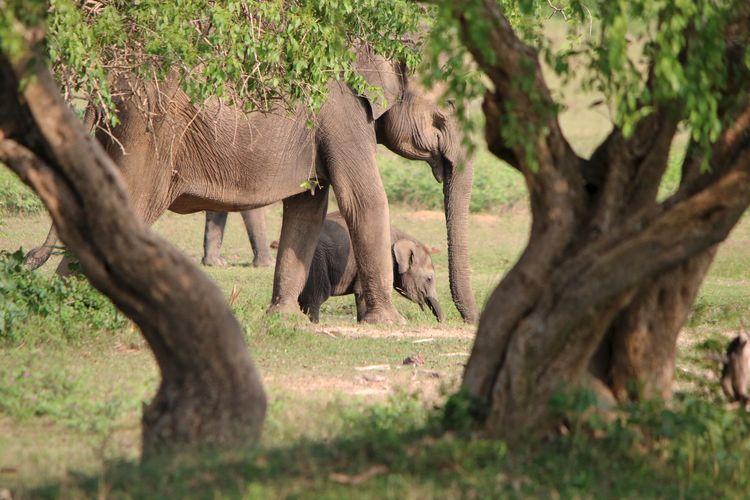 Elephants Seen Through Tree