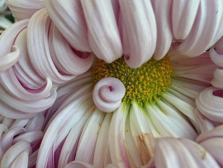 Autumn The Purist (no Edit, No Filter) Flowers Nature Unique Check This Out Tadaa Community Pattern, Texture, Shape And Form Chrysanthemum Maximum Closeness What can be found inside a chrysanthemum. My Best Photo 2015 Macro Beauty Pastel Power