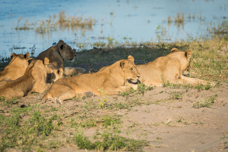 Lioness resting at waterhole in forest