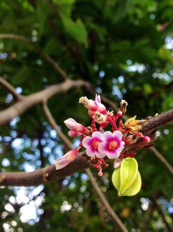 Flower Star Fruit