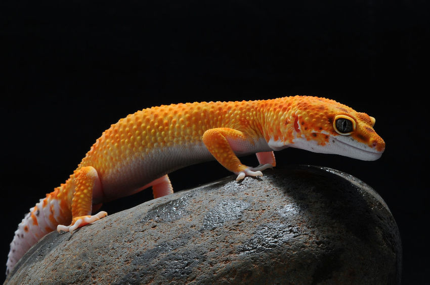 Black Background Leopard Gecko Reptile Animal Animal Themes Black Background Close-up Gecko Gecko Lizard Lizard, Reptiles Mammal No People One Animal Orange Color Orange Colour Vertebrate