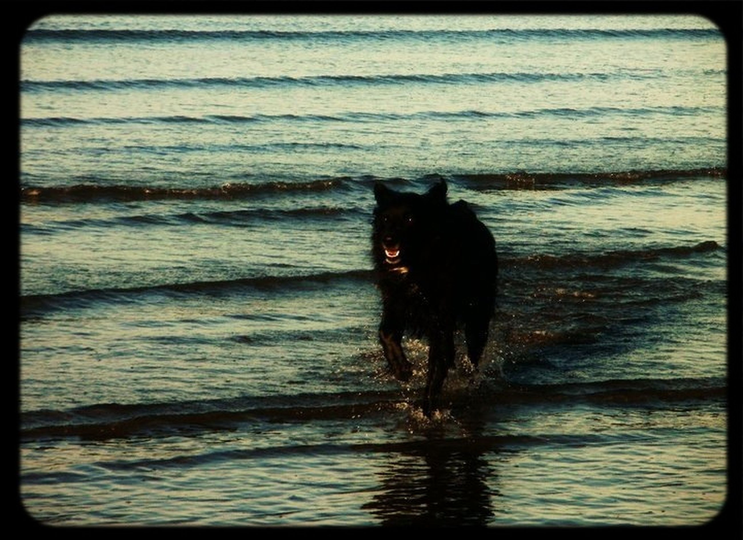 domestic animals, pets, animal themes, one animal, mammal, water, dog, sea, transfer print, black color, full length, auto post production filter, standing, beach, nature, shore, animal, side view, outdoors, no people