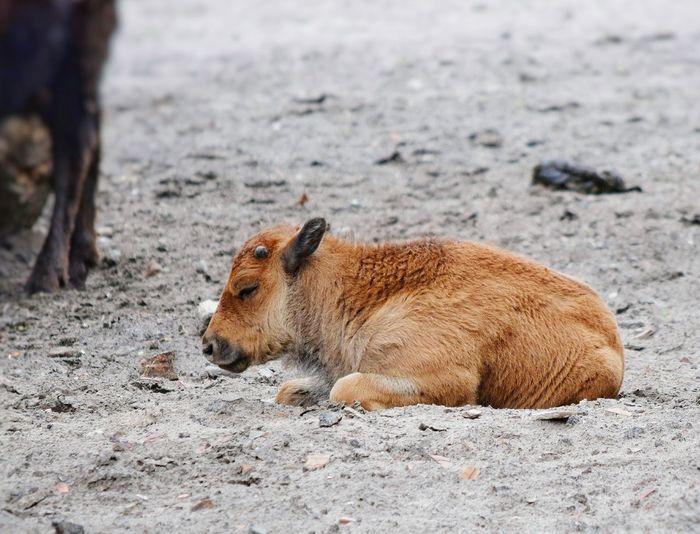 Calf lying on ground