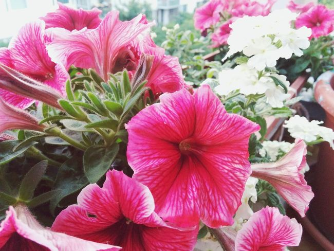 Flowers Pink Flower 🌸 EyeEm Nature Lover Frontal Shot Nature At Its Best Summer Summer Flowers
