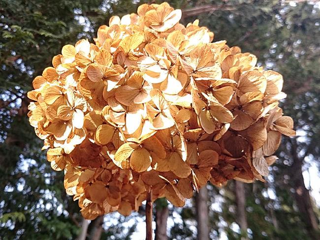 It looks like golden hydrangea. in winter… Goldencolor Hydrangea Hydrangeas In Winter Flower Dead Flowers