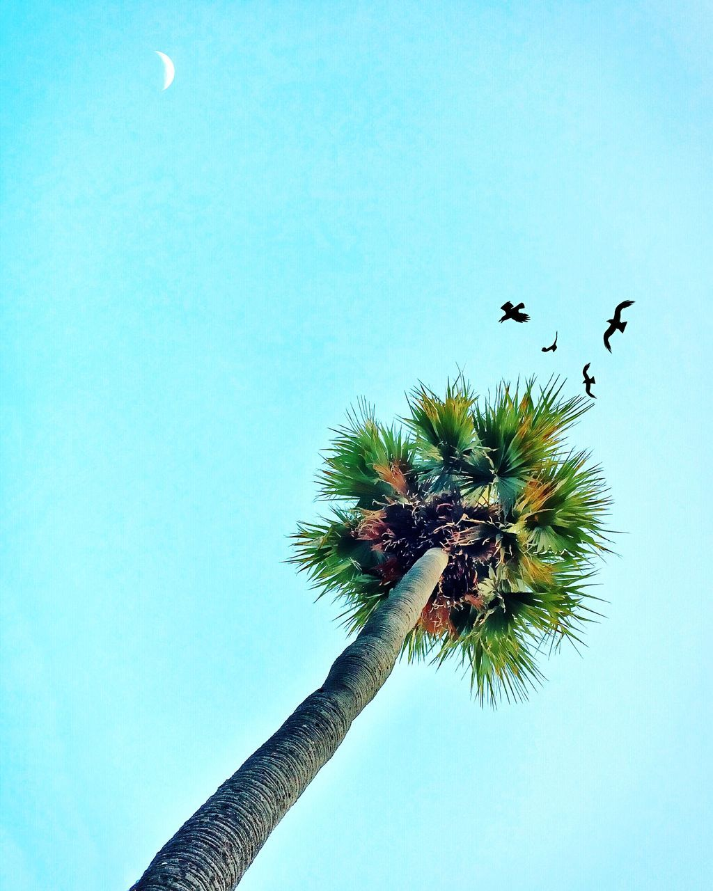 Low Angle View Of Birds Flying Over Coconut Palm Tree Against Clear Sky