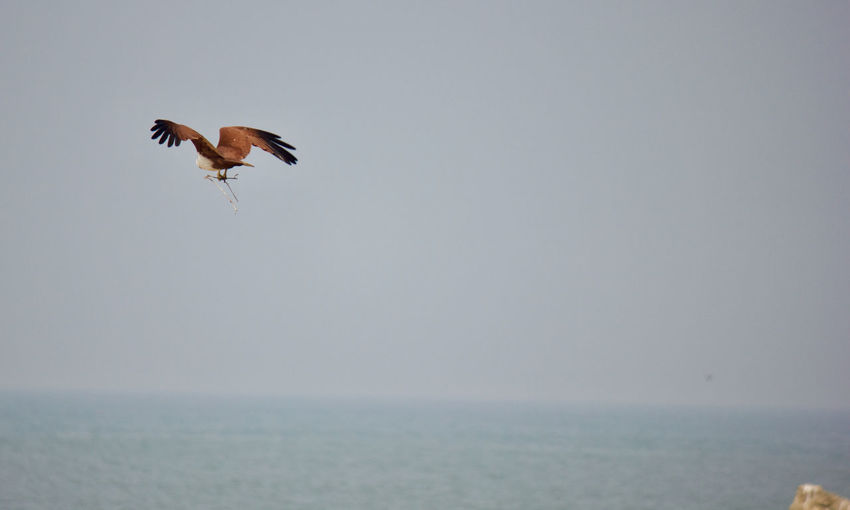 The brahminy kite, also known as the red-backed sea-eagle Bird Photography Brahmani Kite Eagle Flying High Red Backed Sea Eagle Tranquility Wildlife & Nature Animal Themes Animals In The Wild Beauty In Nature Bird Day Eagle - Bird Flying Kerala Lifestyles Nature Red Eagle Scenery Scenics Sea Eagle Seaside Tranquil Scene Wild Wildlife