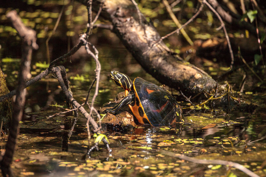 Florida red bellied turtle Pseudemys nelsoni with algae on its shell basking on a long in a pond in Naples, Florida Animals In The Wild Florida Redbelly Turtle Marsh Nature Pond Pseudemys Nelsoni Reptile Swamp Wetland Animal Animal Themes Animal Wildlife Animals In The Wild Basking Basking In The Sun Carapace Day Florida Red Bellied Turtle Nature No People One Animal Outdoors Shell Turtle Wildlife