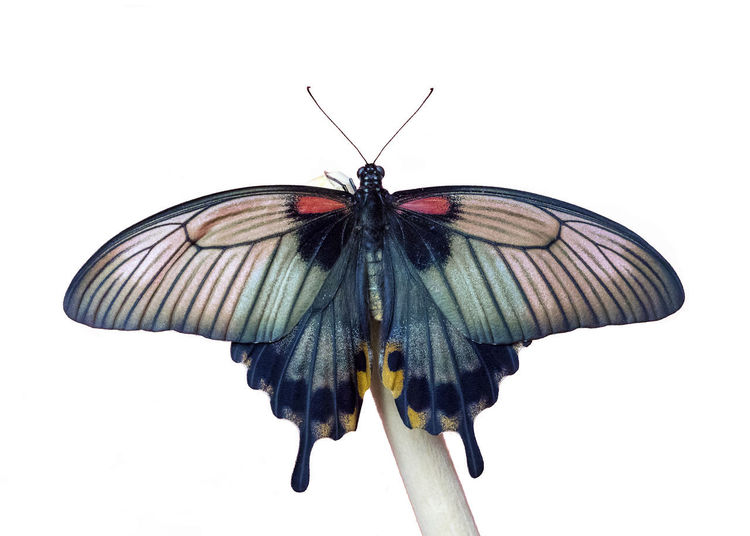 Papilio Menmon