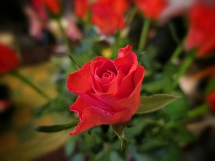 Wine Tasting Party Beautiful Flowers Roses Shallow Depth Of Field Close Up ☺