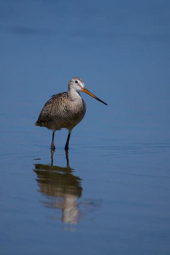 Godwit wading
