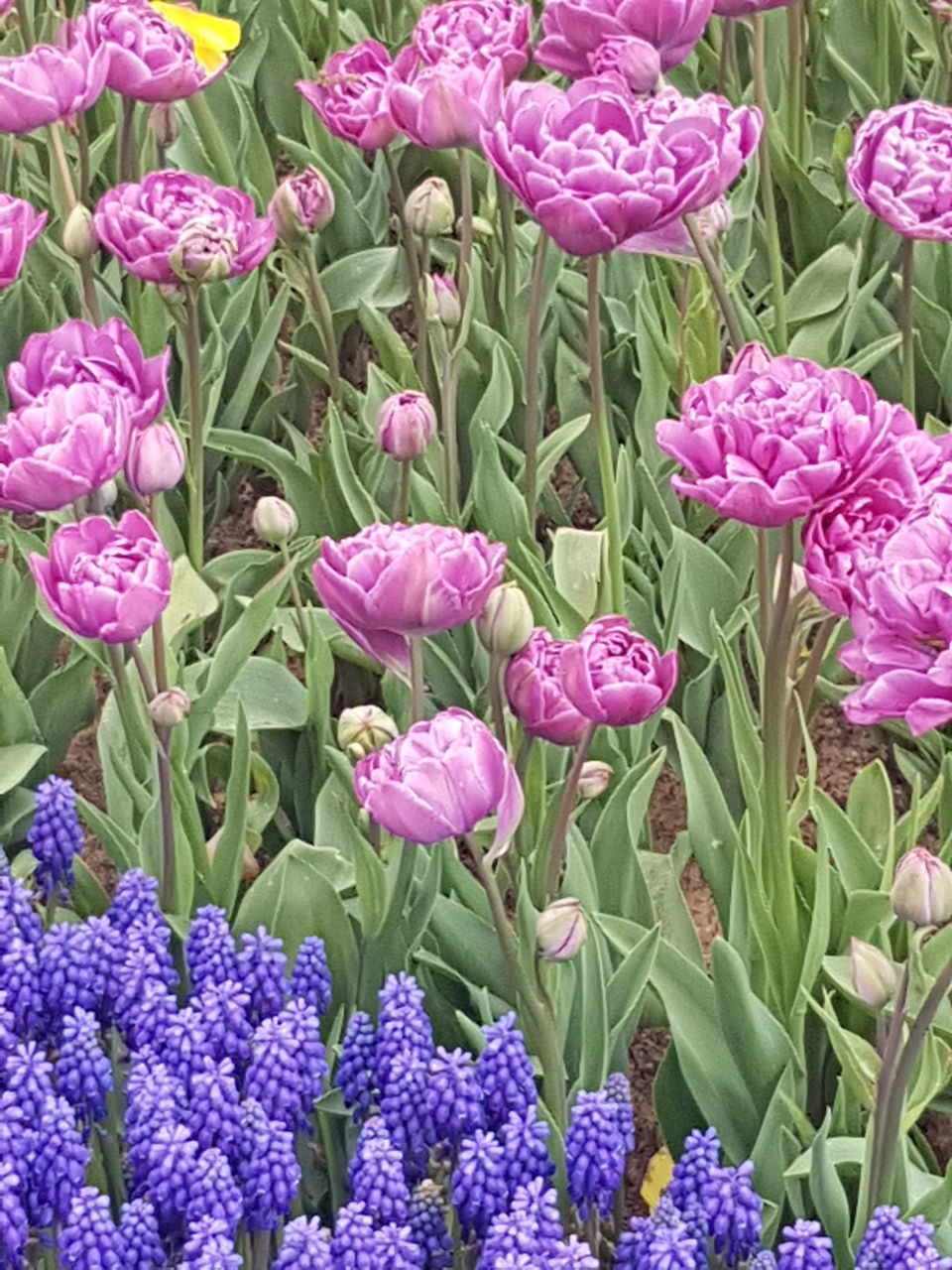 flowering plant, flower, beauty in nature, plant, vulnerability, growth, fragility, freshness, petal, close-up, green color, nature, flower head, plant part, no people, leaf, inflorescence, pink color, purple, full frame, outdoors, flowerbed, flower arrangement