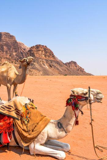 Horse cart in desert against clear sky