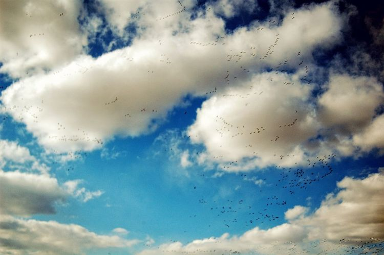 """Watching huge flocks of Snow Geese swirl down from the sky, amid a cacophony of honking, is a little like standing inside a snow globe. These loud, white-and-black geese can cover the ground in a snowy blanket as they eat their way across fallow cornfields or wetlands. Among them, you might see a dark form with a white head—a color variant called the """"Blue Goose."""" Snow Geese have skyrocketed in numbers and are now among the most abundant waterfowl on the continent. Taking Photos Snow Geese Watching Birds From My Point Of View Check This Out A Day In The Life Old Camera On The Road Flying High Clouds And Sky"""