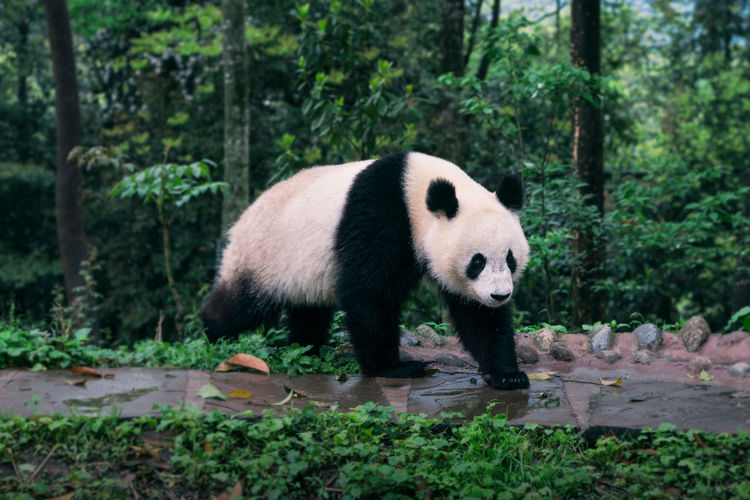 China, giant panda