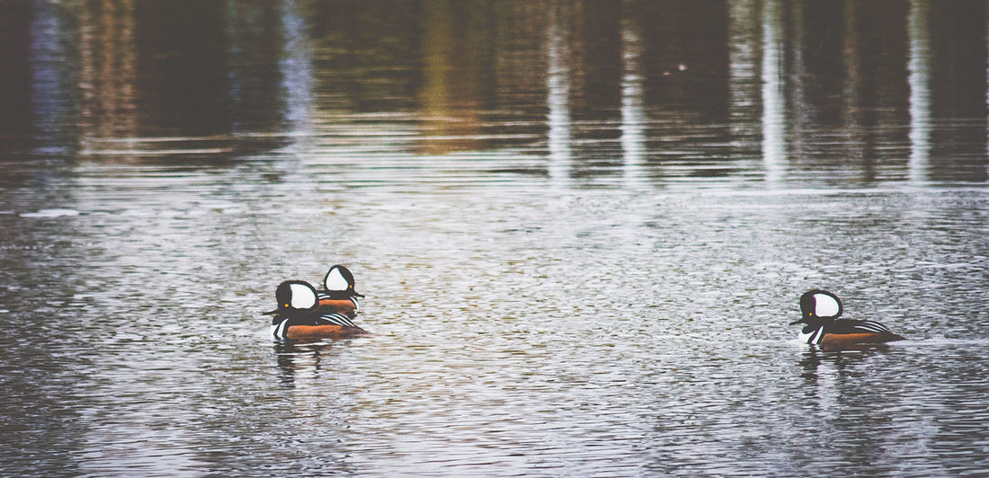 Animals In The Wild Beauty In Nature Floating On Water Hooded Merganser Nature Nature Nature Photography Riverside Photography Waterfront Wildlife & Nature Wildlife Photography
