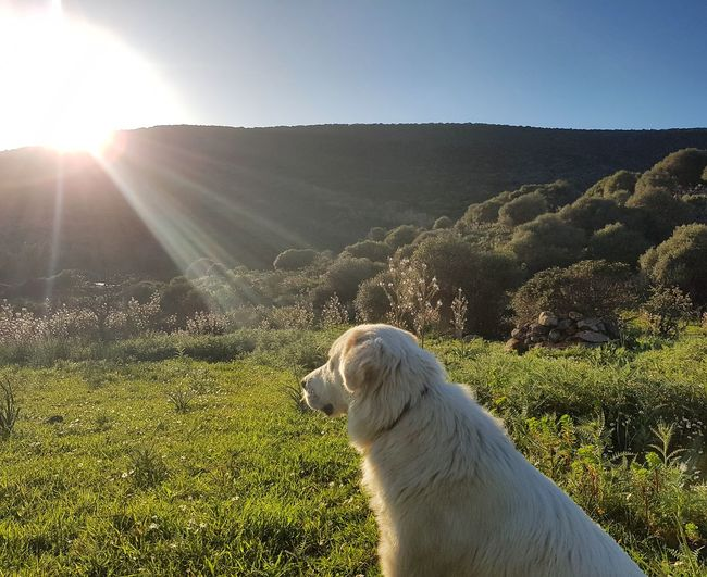 #italy #Sardegna Counteyside #cane Da Pastore Maremmano Sheepdog Sungazing Nature Connect Amaze Peace Tranquility Idil Second Acts EyeEmNewHere Purebred Dog
