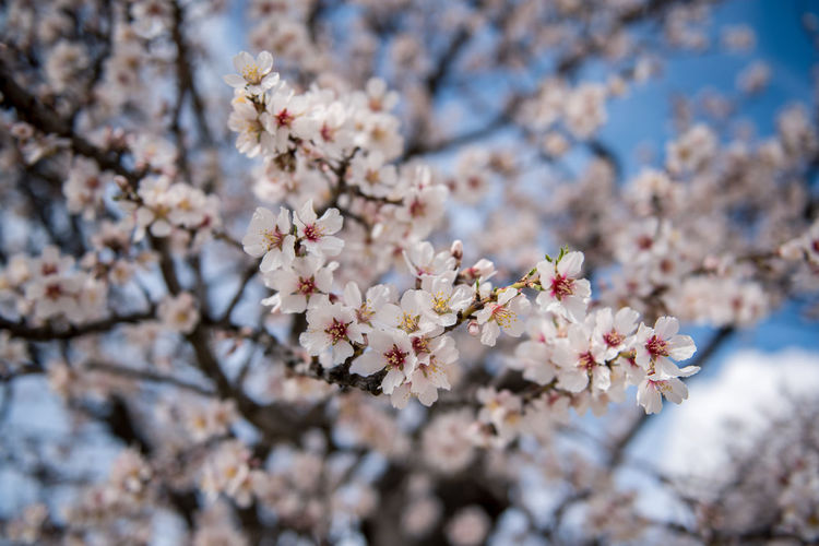 Flowering Plant Plant Flower Freshness Fragility Tree Blossom Cherry Blossom Growth Branch Nature Springtime Cherry Tree No People Outdoors Almond Tree Almond Blossom Blooming