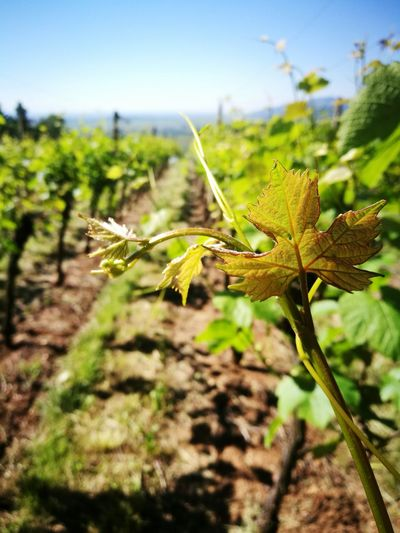 Vine No People Nature Vinery Alsace France Huaweiphotography Alsace Life Vines On Trees Naturelover Vines And Leaf Vineyard Cultivation Vineyard Beauty Vine Huawei P9 Leica Peaceful View Beauty In Nature Outdoors Nature Rural Scene Nature_collection Clear Sky Blue Wine Alsacefrance HuaweiP9