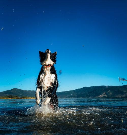 Dog running in sea against blue sky