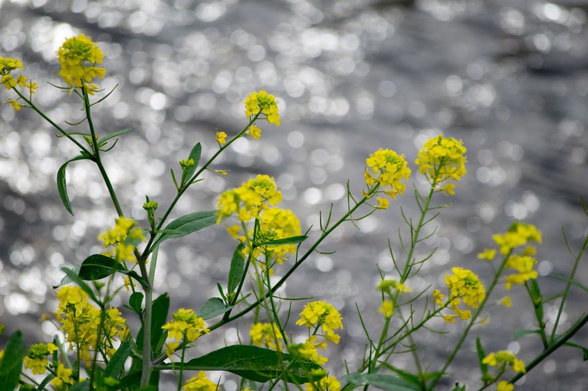 Beauty In Nature Blooming Blossom Close-up Day Flower Flower Head Focus On Foreground Fragility Freshness Growth In Bloom Nature Outdoors Petal Plant Selective Focus Stem Wildflower Yellow 菜の花