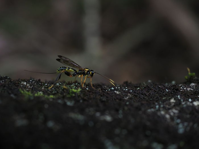 Close-up of parasitoid wasp on tree