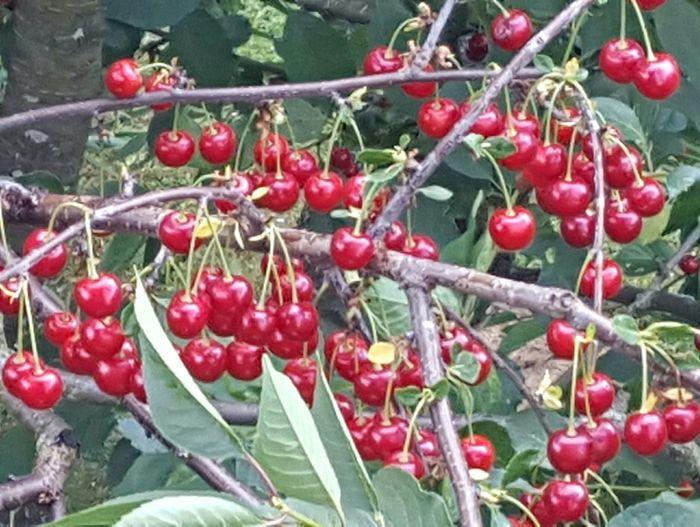 Cherrys CherryKissed